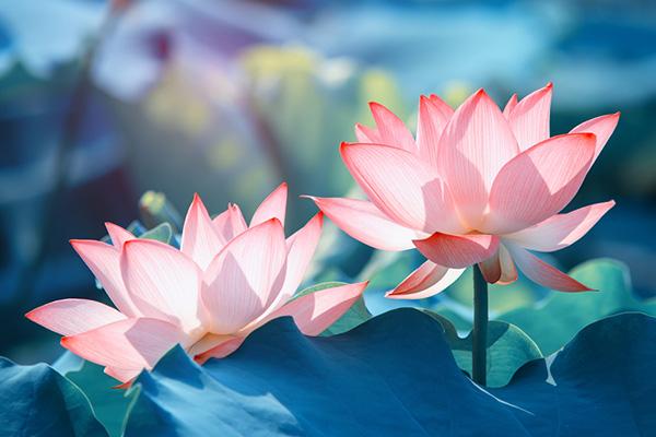 Bài văn tả cảnh đầm sen đang mùa hoa nở số 5
