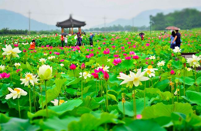 Bài văn tả cảnh đầm sen đang mùa hoa nở số 9
