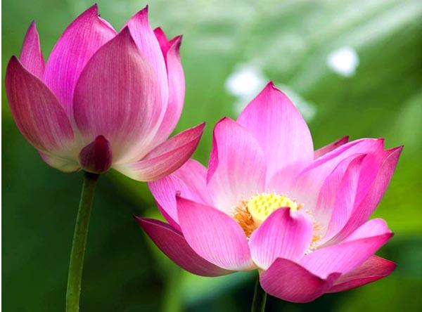 Bài văn tả cảnh đầm sen đang mùa hoa nở số 2