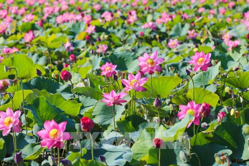Bài văn tả cảnh đầm sen đang mùa hoa nở số  7
